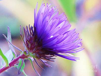 Poster featuring the photograph Purple Aster  by Michele Penner