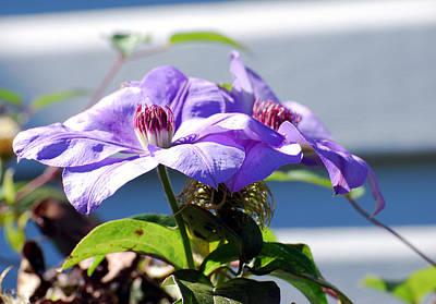 Poster featuring the photograph Purple Clematis by Linda Cox