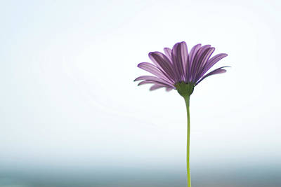 Purple Daisy Against Sea & Sky Blurred Background Poster
