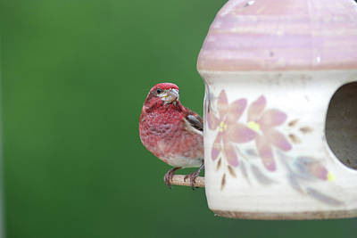 Purple Finch At Feeder Poster