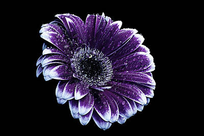 Purple Gerbera  Poster by Fiona Messenger