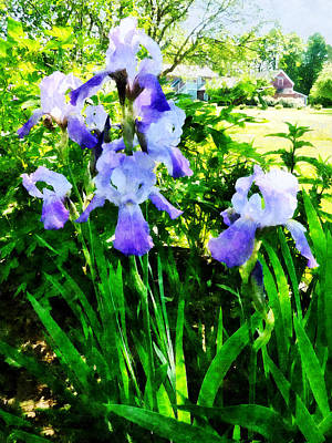 Purple Irises In Suburbs Poster