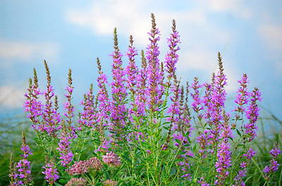 Purple Loosestrife II Poster by Mary McAvoy