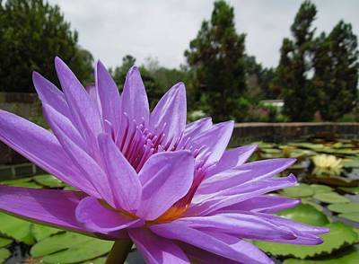 Purple Lotus Flower Poster