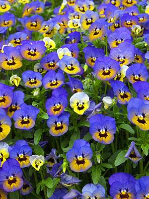 Poster featuring the photograph Purple Pansies 1 by Robert Decker