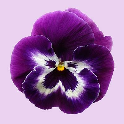 Purple Pansy Poster