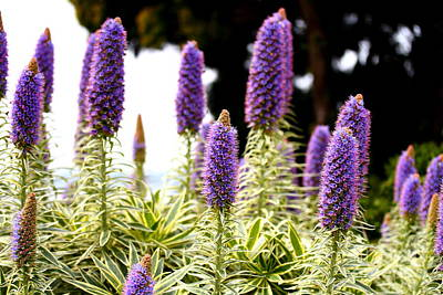 Purple Pride Of Madeira Flowers . 7d14797 Poster