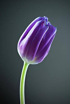 Purple Tulip Poster by Nick  Shirghio