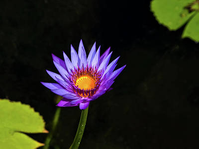 Purple Water Lily Poster by Sandra Anderson