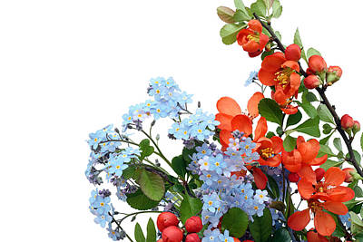 Poster featuring the photograph Quince Chaenomeles And Forget Me Nots Myosotis  Postcard  by Aleksandr Volkov