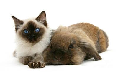 Ragdoll Kitten And Lionhead Rabbit Poster by Mark Taylor