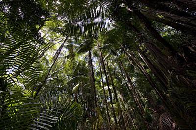 Rain Forest Canopy In Bako National Poster by Mattias Klum