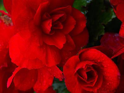 Rain Kissed Roses Poster