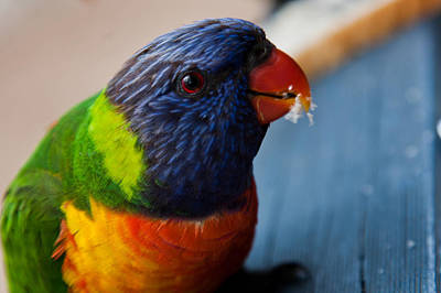 Poster featuring the photograph Rainbow Lorikeet by Carole Hinding