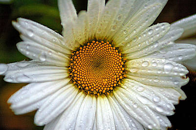 Raindrops On A Daisy Poster
