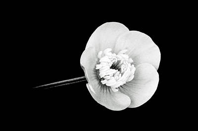 Ranunculus In Black And White Poster by Lisa Phillips