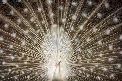 Rare White Peacock Poster by Larry Marshall