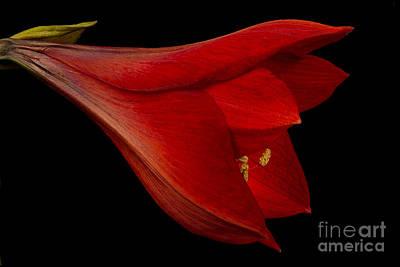 Red Amaryllis - 1 Poster by Ann Garrett