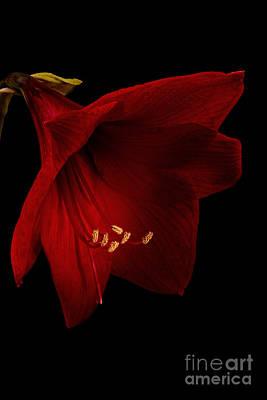 Red Amaryllis - 2 Poster by Ann Garrett