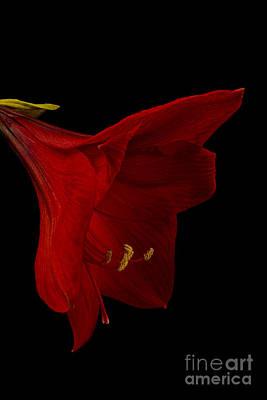 Red Amaryllis - 3 Poster by Ann Garrett