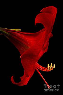 Red Amaryllis - 4 Poster by Ann Garrett