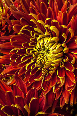 Red And Yellow Spider Mum Poster