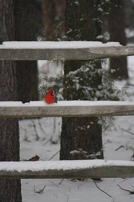 Poster featuring the photograph Red Bird by Stacy C Bottoms
