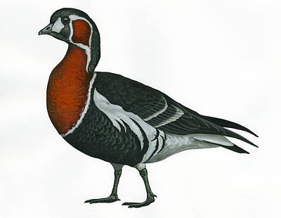 Red Breasted Goose Poster