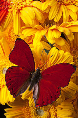 Red Butterfly On Yellow Gerbera Daisies  Poster by Garry Gay