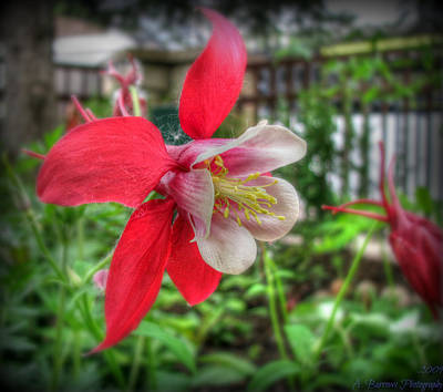 Red Columbines Poster
