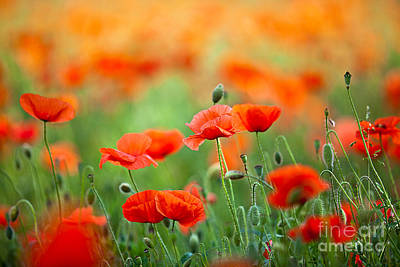 Red Corn Poppy Flowers 03 Poster by Nailia Schwarz