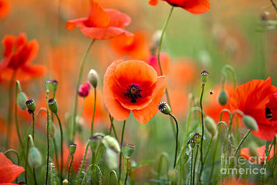 Red Corn Poppy Flowers 05 Poster by Nailia Schwarz