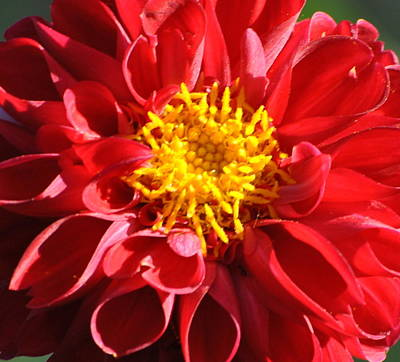 Poster featuring the photograph Red Dahlia by Jodi Terracina