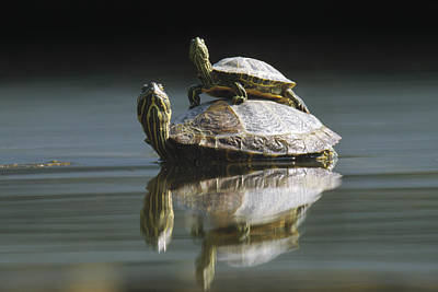 Red Eared Sliders In Pond Poster