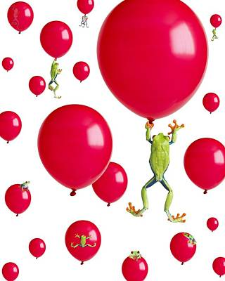 Red-eyed Treefrogs Floating On Red Poster by Corey Hochachka