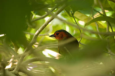 Red-faced Liocichla, Liocichla Poster