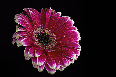 Red Gerbera Poster by Fiona Messenger
