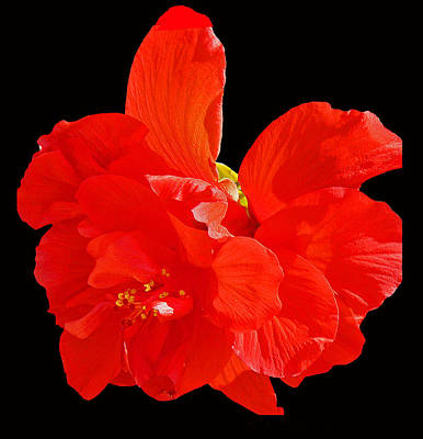 Poster featuring the photograph Red Hibiscus by Cindy Manero