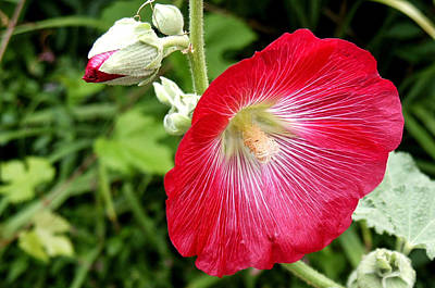 Red Hollyhock Poster by Lisa Phillips