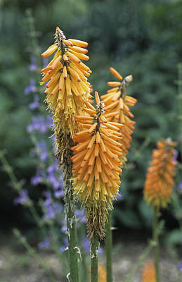 Red Hot Poker (kniphofia Ensiflora) Poster by Adrian Thomas