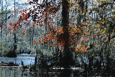 Red Maple And Bald Cypress Trees Poster by Raymond Gehman