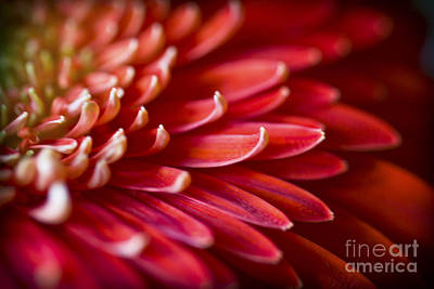 Red Petals Abstract 1 Poster by Clare Bambers