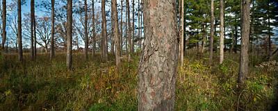 Red Pine Forest Poster by Steve Gadomski