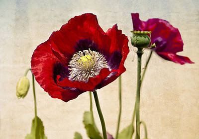 Red Poppies Poster by Marion McCristall