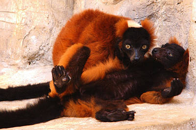 Red Ruffed Lemurs Grooming Poster