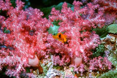 Red Saddleback Anemonefish And Soft Coral Poster by Georgette Douwma