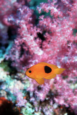 Red Saddleback Anemonefish Poster by Georgette Douwma