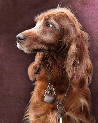 Poster featuring the photograph Red Setter Dog Portrait by Ethiriel  Photography