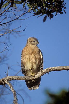 Red-shouldered Hawk Buteo Lineatus Poster by Konrad Wothe
