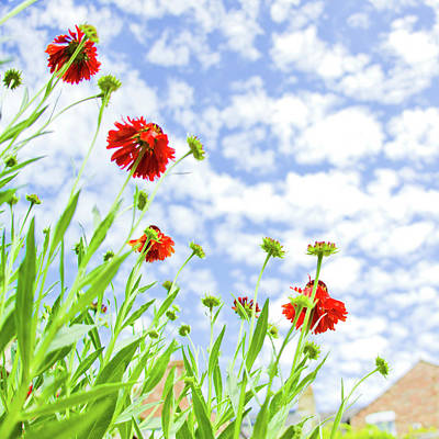 Red Sneezeweed Flowers Poster